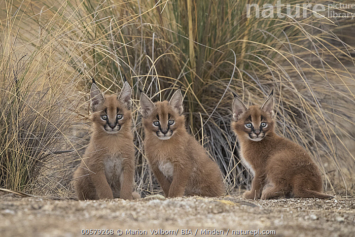 Caracal (Caracal caracal) cubs, Castile-La Mancha, Spain  ,  Baby, Captive, Caracal caracal, Caracal, Castile-La Mancha, Color Image, Cub, Cute, Day, Front View, Full Length, Game Farm, Horizontal, Looking at Camera, Nobody, Outdoors, Photography, Sibling, Side View, Spain, Three Animals, Wildlife,Caracal,Spain  ,  Marion Vollborn/ BIA