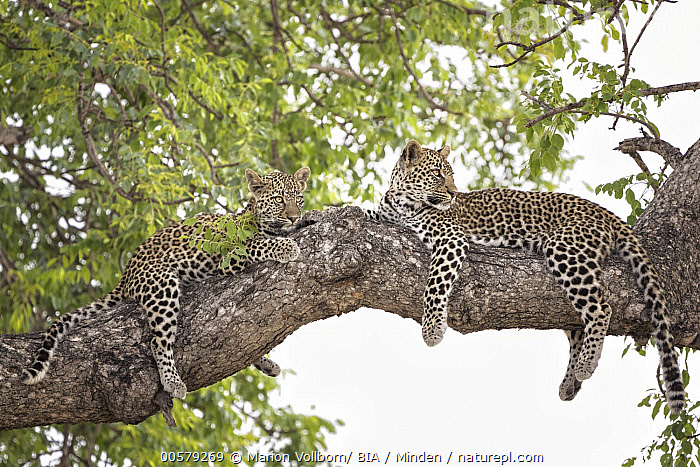 Leopard (Panthera pardus) pair in tree, Sabi-sands Game Reserve, South Africa  ,  Adult, Color Image, Day, Full Length, Horizontal, Leopard, Nobody, Outdoors, Panthera pardus, Photography, Resting, Sabi-sands Game Reserve, Side View, South Africa, Two Animals, Wildlife,Leopard,South Africa  ,  Marion Vollborn/ BIA