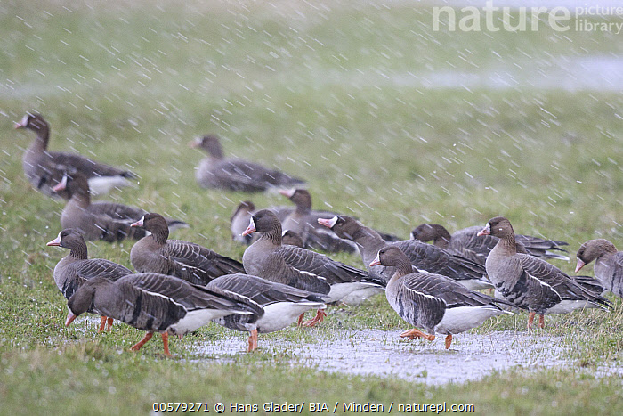 White-fronted Goose (Anser albifrons) flock in snowfall, North Rhine-Westphalia, Germany  ,  Adult, Anser albifrons, Color Image, Day, Flock, Full Length, Germany, Horizontal, Large Group of Animals, Nobody, North Rhine-Westphalia, Outdoors, Photography, Side View, Snowing, Snowfall, Waterfowl, White-fronted Goose, Wildlife,White-fronted Goose,Germany  ,  Hans Glader/ BIA