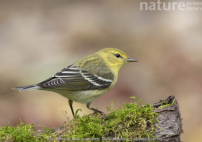Blackpoll Warbler (Setophaga striata), Saskatchewan, Canada  ,  Adult, Blackpoll Warbler, Canada, Color Image, Day, Full Length, Horizontal, Nobody, One Animal, Outdoors, Photography, Saskatchewan, Setophaga striata, Side View, Songbird, Wildlife,Blackpoll Warbler,Canada  ,  Nick Saunders/ BIA