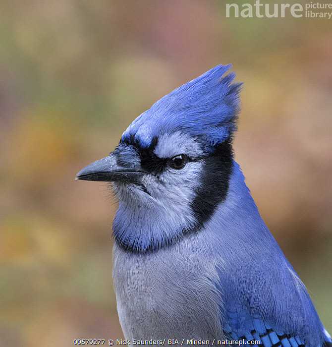 Blue Jay (Cyanocitta cristata), Saskatchewan, Canada  ,  Adult, Blue Jay, Canada, Color Image, Cyanocitta cristata, Day, Nobody, One Animal, Outdoors, Photography, Saskatchewan, Side View, Songbird, Vertical, Waist Up, Wildlife,Blue Jay,Canada  ,  Nick Saunders/ BIA