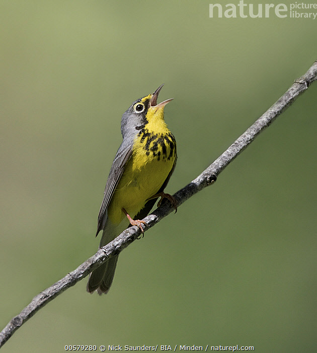 Canada Warbler (Cardellina canadensis) male calling, Saskatchewan, Canada, Adult, Calling, Canada Warbler, Canada, Cardellina canadensis, Color Image, Day, Full Length, Male, Nobody, One Animal, Open Mouth, Outdoors, Photography, Saskatchewan, Side View, Singing, Songbird, Vertical, Wildlife,Canada Warbler,Canada, Nick Saunders/ BIA