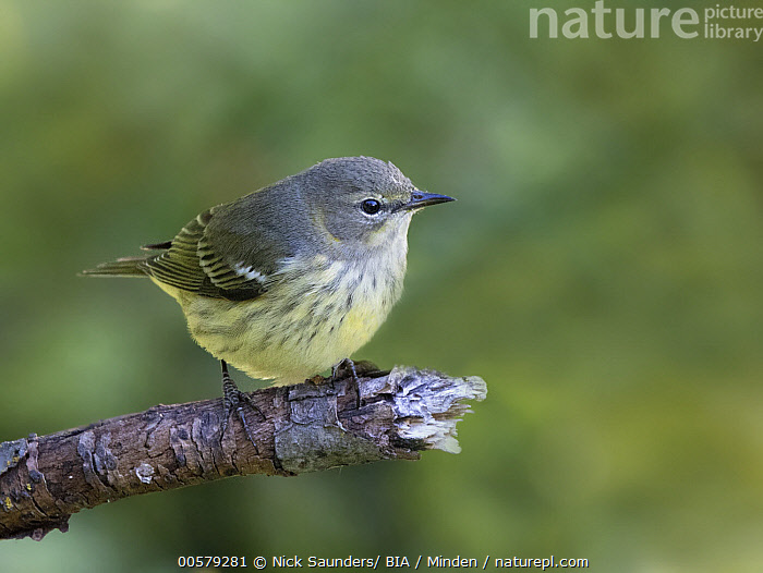 Cape May Warbler (Setophaga tigrina), Saskatchewan, Canada  ,  Adult, Cape May Warbler, Canada, Color Image, Day, Full Length, Horizontal, Nobody, One Animal, Outdoors, Photography, Saskatchewan, Setophaga tigrina, Side View, Songbird, Wildlife,Cape May Warbler,Canada  ,  Nick Saunders/ BIA