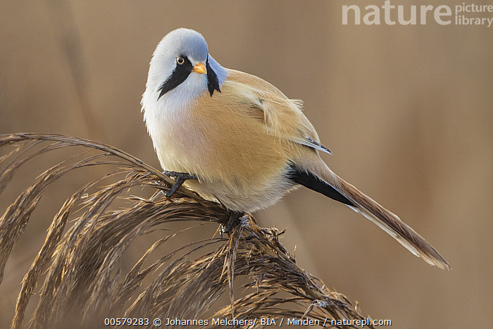 Bearded Tit (Panurus biarmicus) male, Baden-Wurttemberg, Germany  ,  Adult, Baden-Wurttemberg, Bearded Tit, Color Image, Day, Full Length, Germany, Horizontal, Male, Nobody, One Animal, Outdoors, Panurus biarmicus, Photography, Side View, Songbird, Wildlife,Bearded Tit,Germany  ,  Johannes Melchers/ BIA