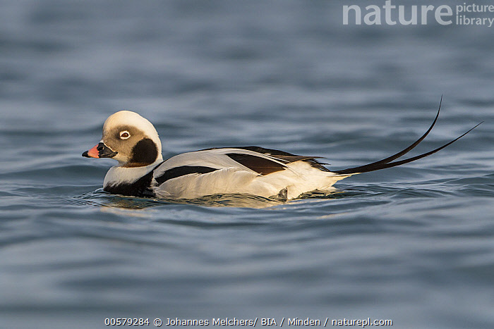 Long-tailed Duck (Clangula hyemalis) male, Finnmark, Norway  ,  Adult, Clangula hyemalis, Color Image, Day, Finnmark, Full Length, Horizontal, Long-tailed Duck, Male, Nobody, Norway, One Animal, Outdoors, Photography, Side View, Waterfowl, Wildlife,Long-tailed Duck,Norway  ,  Johannes Melchers/ BIA
