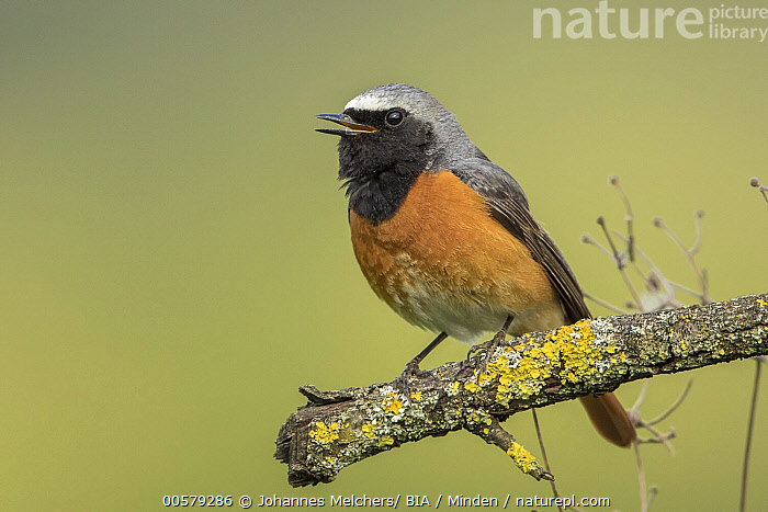 Common Redstart (Phoenicurus phoenicurus) male calling, Baden-Wurttemberg, Germany, Adult, Baden-Wurttemberg, Calling, Color Image, Common Redstart, Day, Full Length, Germany, Horizontal, Male, Nobody, One Animal, Open Mouth, Outdoors, Phoenicurus phoenicurus, Photography, Side View, Singing, Songbird, Wildlife,Common Redstart,Germany, Johannes Melchers/ BIA