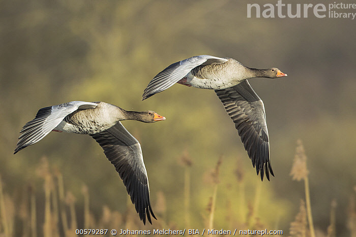 Greylag Goose (Anser anser) pair flying, Baden-Wurttemberg, Germany, Adult, Anser anser, Baden-Wurttemberg, Color Image, Day, Flying, Full Length, Germany, Greylag Goose, Horizontal, Nobody, Outdoors, Photography, Side View, Symmetry, Two Animals, Unison, Waterfowl, Wildlife,Greylag Goose,Germany, Johannes Melchers/ BIA