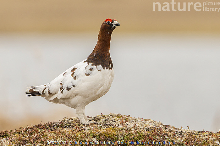 Willow Ptarmigan (Lagopus lagopus) male, Finnmark, Norway, Adult, Color Image, Day, Finnmark, Full Length, Gamebird, Horizontal, Lagopus lagopus, Male, Nobody, Norway, One Animal, Outdoors, Photography, Side View, Wildlife, Willow Ptarmigan,Willow Ptarmigan,Norway, Johannes Melchers/ BIA