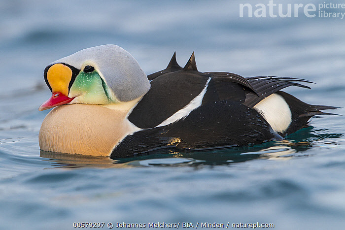 King Eider (Somateria spectabilis) male, Finnmark, Norway  ,  Adult, Color Image, Day, Finnmark, Full Length, Horizontal, King Eider, Male, Nobody, Norway, One Animal, Outdoors, Photography, Side View, Somateria spectabilis, Waterfowl, Wildlife,King Eider,Norway  ,  Johannes Melchers/ BIA