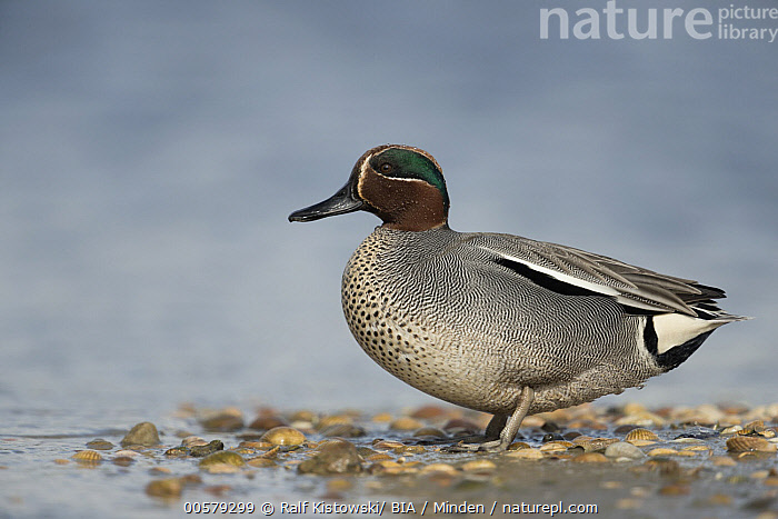 Common Teal (Anas crecca) male, Schleswig-Holstein, Germany  ,  Adult, Anas crecca, Color Image, Common Teal, Day, Full Length, Germany, Horizontal, Male, Nobody, One Animal, Outdoors, Photography, Schleswig-Holstein, Side View, Waterfowl, Wildlife,Common Teal,Germany  ,  Ralf Kistowski/ BIA