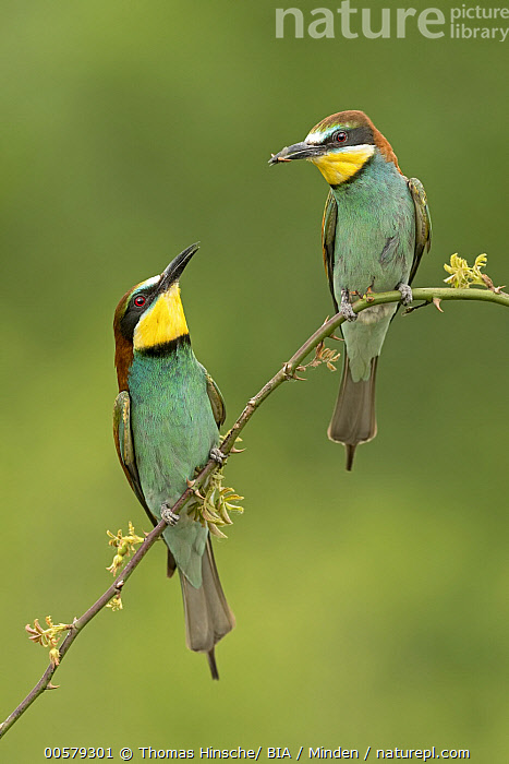European Bee-eater (Merops apiaster) pair, Saxony-Anhalt, Germany  ,  Adult, Color Image, Day, European Bee-eater, Facing, Front View, Full Length, Germany, Merops apiaster, Nobody, Outdoors, Photography, Saxony-Anhalt, Songbird, Two Animals, Vertical, Wildlife,European Bee-eater,Germany  ,  Thomas Hinsche/ BIA
