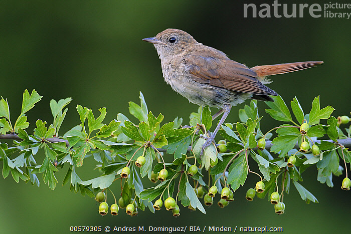 Nightingale (Luscinia megarhynchos) juvenile, Andalusia, Spain  ,  Andalusia, Color Image, Day, Full Length, Horizontal, Juvenile, Luscinia megarhynchos, Nightingale, Nobody, One Animal, Outdoors, Photography, Side View, Songbird, Spain, Wildlife,Nightingale,Spain  ,  Andres M. Dominguez/ BIA