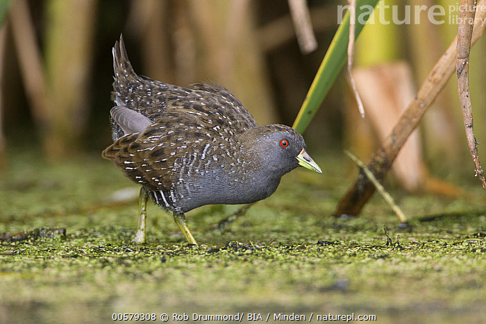 Australian Crake (Porzana fluminea) foraging, Victoria, Australia  ,  Adult, Australia, Australian Crake, Color Image, Day, Foraging, Full Length, Horizontal, Nobody, One Animal, Outdoors, Photography, Porzana fluminea, Side View, Victoria, Water Bird, Wildlife,Australian Crake,Australia  ,  Rob Drummond/ BIA