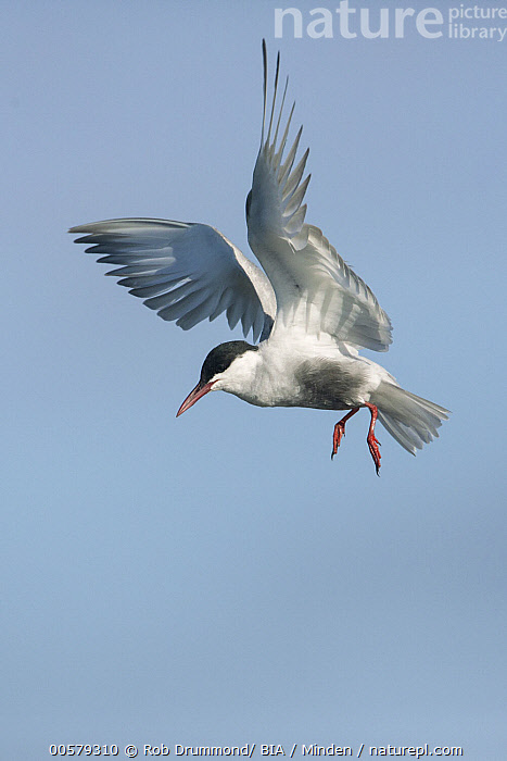 Whiskered Tern (Chlidonias hybrida) flying, Victoria, Australia  ,  Adult, Australia, Chlidonias hybrida, Color Image, Day, Flying, Full Length, Hovering, Nobody, One Animal, Outdoors, Photography, Seabird, Side View, Vertical, Victoria, Whiskered Tern, Wildlife,Whiskered Tern,Australia  ,  Rob Drummond/ BIA