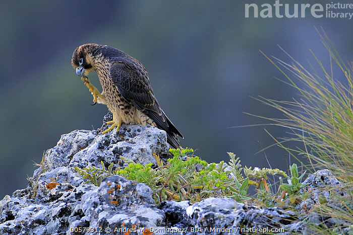 The Falcon of Andalusia