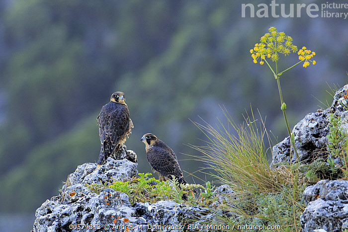 Peregrine Falcon (Falco peregrinus) juveniles, Andalusia, Spain  ,  Andalusia, Color Image, Day, Falco peregrinus, Full Length, Horizontal, Juvenile, Nobody, Outdoors, Peregrine Falcon, Photography, Raptor, Side View, Spain, Two Animals, Wildlife,Peregrine Falcon,Spain  ,  Andres M. Dominguez/ BIA