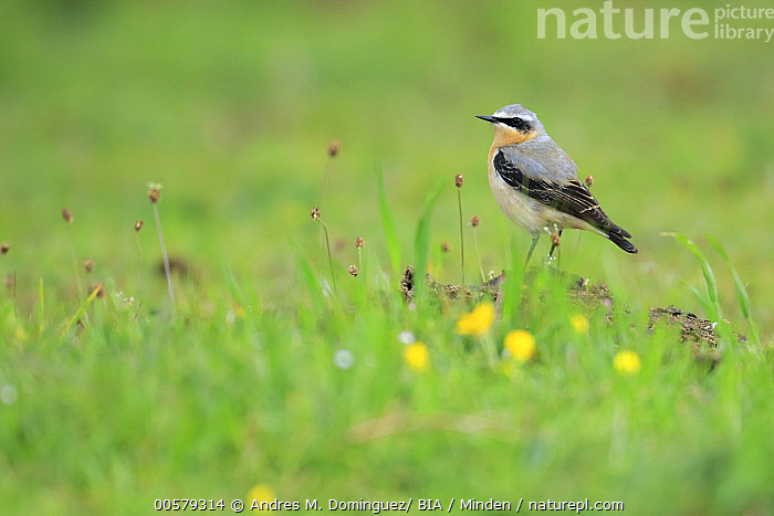 Northern Wheatear (Oenanthe oenanthe) male, Asturias, Spain  ,  Adult, Asturias, Color Image, Day, Full Length, Horizontal, Male, Nobody, Northern Wheatear, Oenanthe oenanthe, One Animal, Outdoors, Photography, Side View, Songbird, Spain, Wildlife,Northern Wheatear,Spain  ,  Andres M. Dominguez/ BIA