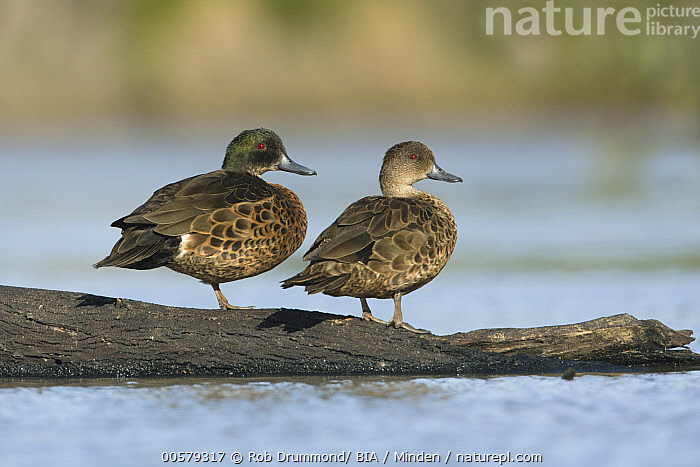 Chestnut Teal (Anas castanea) pair, Victoria, Australia  ,  Adult, Anas castanea, Australia, Chestnut Teal, Color Image, Day, Full Length, Horizontal, Nobody, Outdoors, Photography, Side View, Two Animals, Victoria, Waterfowl, Wildlife,Chestnut Teal,Australia  ,  Rob Drummond/ BIA
