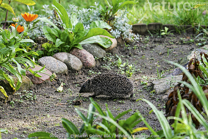 Brown-breasted Hedgehog (Erinaceus europaeus) in backyard, Brandenburg, Germany  ,  Adult, Backyard, Brandenburg, Brown-breasted Hedgehog, Color Image, Day, Erinaceus europaeus, Full Length, Garden, Germany, Horizontal, Nobody, One Animal, Outdoors, Photography, Side View, Urban, Wildlife,Brown-breasted Hedgehog,Germany  ,  Martin Grimm/ BIA