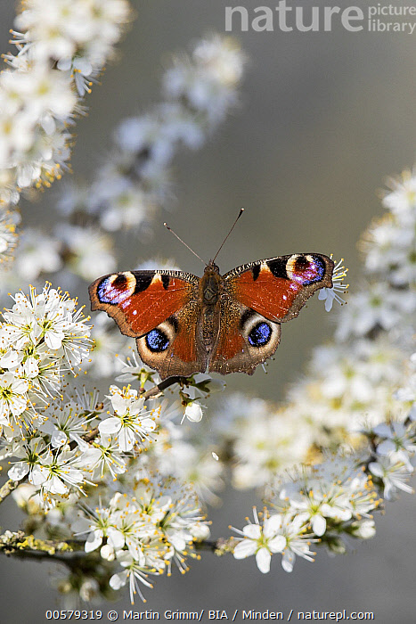 Peacock Butterfly (Inachis io), Baden-Wurttemberg, Germany  ,  Adult, Baden-Wurttemberg, Color Image, Day, Full Length, Germany, Inachis io, Nobody, One Animal, Outdoors, Peacock Butterfly, Photography, Top View, Vertical, Wildlife,Peacock Butterfly,Germany  ,  Martin Grimm/ BIA
