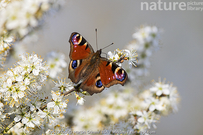 Peacock Butterfly (Inachis io), Baden-Wurttemberg, Germany  ,  Adult, Baden-Wurttemberg, Color Image, Day, Full Length, Germany, Horizontal, Inachis io, Nobody, One Animal, Outdoors, Peacock Butterfly, Photography, Top View, Wildlife,Peacock Butterfly,Germany  ,  Martin Grimm/ BIA