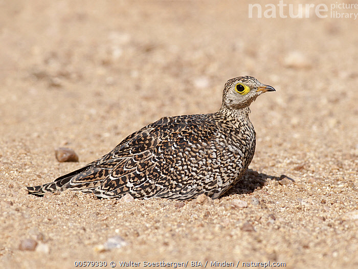 Double-banded Sandgrouse (Pterocles bicinctus), Kruger National Park, South Africa  ,  Adult, Color Image, Day, Double-banded Sandgrouse, Full Length, Gamebird, Horizontal, Kruger National Park, Nobody, One Animal, Outdoors, Photography, Pterocles bicinctus, Side View, South Africa, Wildlife,Double-banded Sandgrouse,South Africa  ,  Walter Soestbergen/ BIA