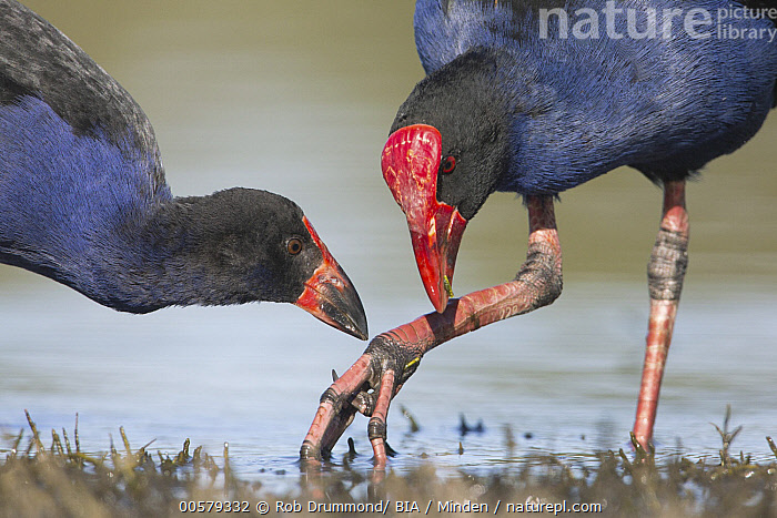 Purple Swamphen (Porphyrio porphyrio) parent with fledgling, Victoria, Australia  ,  Adult, Australia, Color Image, Day, Fledgling, Head and Shoulders, Horizontal, Learning, Nobody, Outdoors, Photography, Porphyrio porphyrio, Purple Swamphen, Side View, Teaching, Two Animals, Victoria, Waist Up, Water Bird, Wildlife,Purple Swamphen,Australia  ,  Rob Drummond/ BIA