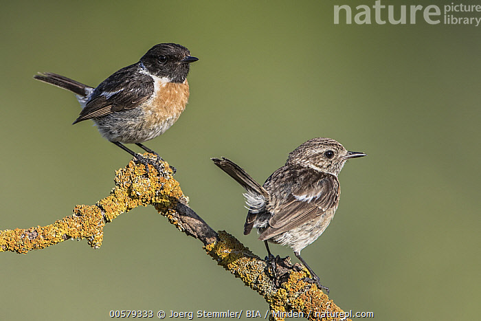 European Stonechat (Saxicola rubicola) male and female, Saxony-Anhalt, Germany  ,  Adult, Color Image, Day, Difference, Dimorphic, European Stonechat, Female, Full Length, Germany, Horizontal, Male, Nobody, Outdoors, Photography, Saxicola rubicola, Saxony-Anhalt, Sexual Dimorphism, Side View, Songbird, Two Animals, Wildlife,European Stonechat,Germany  ,  Joerg Stemmler/ BIA