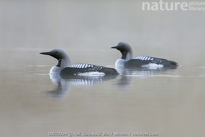 Arctic Loon (Gavia arctica) pair, Sweden  ,  Adult, Arctic Loon, Color Image, Day, Full Length, Gavia arctica, Horizontal, Nobody, Outdoors, Photography, Side View, Sweden, Two Animals, Water Bird, Wildlife,Arctic Loon,Sweden  ,  Ralf Kistowski/ BIA