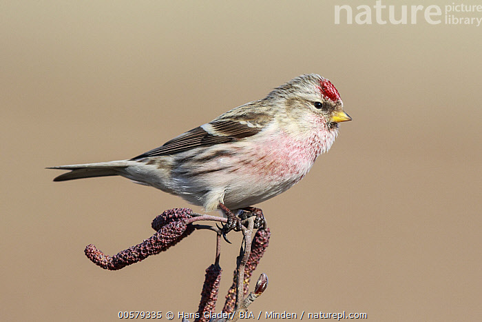 Hoary Redpoll (Carduelis hornemanni), Netherlands  ,  Adult, Carduelis hornemanni, Color Image, Day, Full Length, Hoary Redpoll, Horizontal, Netherlands, Nobody, One Animal, Outdoors, Photography, Side View, Songbird, Wildlife,Hoary Redpoll,Netherlands  ,  Hans Glader/ BIA