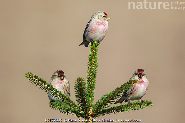 Hoary Redpoll (Carduelis hornemanni) trio, Netherlands  ,  Adult, Carduelis flammea, Carduelis hornemanni, Color Image, Common Redpoll, Day, Full Length, Hoary Redpoll, Horizontal, Netherlands, Nobody, Outdoors, Photography, Side View, Songbird, Three Animals, Wildlife,Hoary Redpoll,Common Redpoll,Carduelis flammea,Netherlands  ,  Hans Glader/ BIA