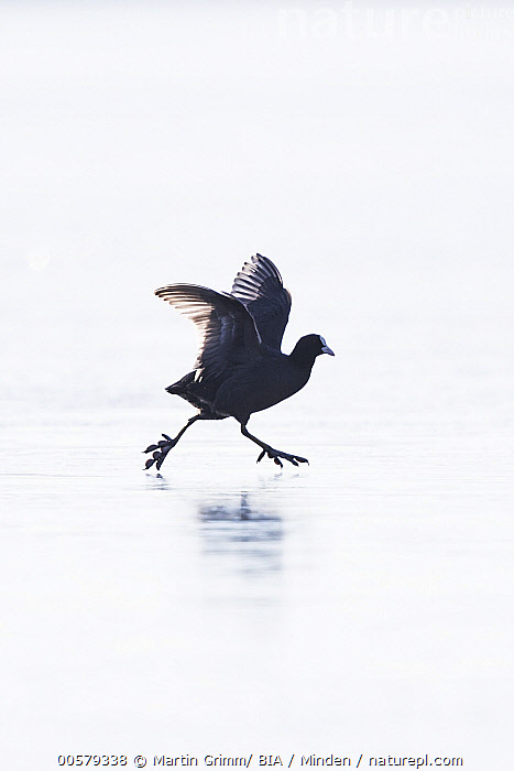 Coot (Fulica atra) running on ice, Bavaria, Germany, Adult, Bavaria, Color Image, Coot, Day, Frozen, Fulica atra, Full Length, Germany, Humor, Ice, Nobody, One Animal, Outdoors, Photography, Running, Side View, Silhouette, Vertical, Water Bird, Wildlife,Coot,Germany, Martin Grimm/ BIA