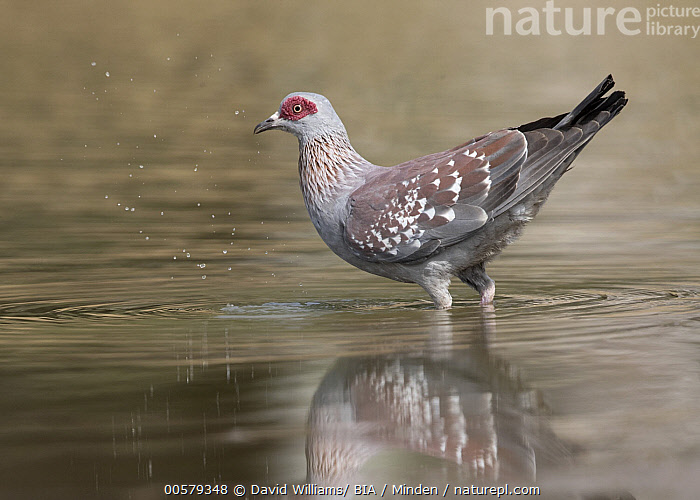 Speckled Pigeon (Columba guinea) at waterhole, Gambia  ,  Adult, Color Image, Columba guinea, Day, Full Length, Gambia, Horizontal, Nobody, One Animal, Outdoors, Photography, Side View, Speckled Pigeon, Waterhole, Wildlife,Speckled Pigeon,Gambia  ,  David Williams/ BIA