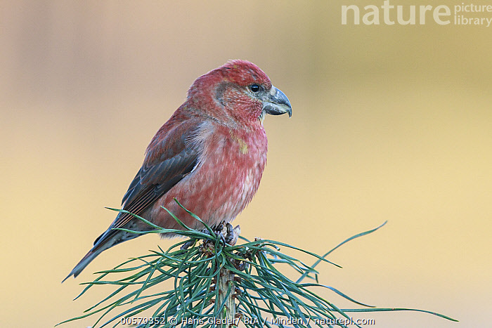Parrot Crossbill (Loxia pytyopsittacus) male, Netherlands  ,  Adult, Color Image, Day, Full Length, Horizontal, Loxia pytyopsittacus, Male, Netherlands, Nobody, One Animal, Outdoors, Parrot Crossbill, Photography, Side View, Songbird, Wildlife,Parrot Crossbill,Netherlands  ,  Hans Glader/ BIA