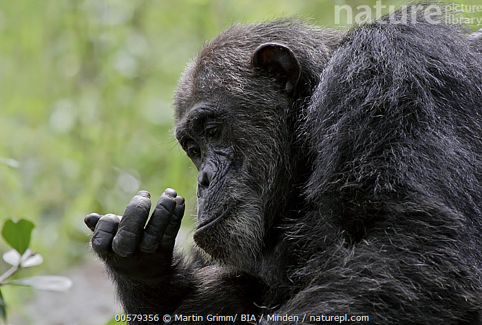 Eastern Chimpanzee (Pan troglodytes schweinfurthii) looking at hand, Gombe Stream National Park, Tanzania, Adult, Color Image, Curiosity, Curious, Day, Eastern Chimpanzee, Gombe Stream National Park, Head and Shoulders, Horizontal, Looking, Nobody, One Animal, Outdoors, Pan troglodytes schweinfurthii, Photography, Side View, Tanzania, Wildlife,Eastern Chimpanzee,Tanzania, Martin Grimm/ BIA