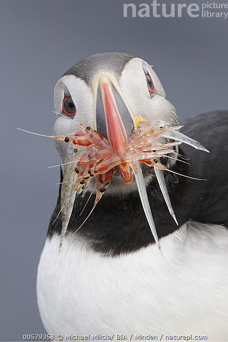 Atlantic Puffin (Fratercula arctica) with shrimp and fish prey, Grimsey Island, Iceland, Adult, Atlantic Puffin, Carrying, Collecting, Color Image, Day, Fish, Fishing, Fratercula arctica, Front View, Grimsey Island, Hunting, Iceland, Looking at Camera, Nobody, One Animal, Outdoors, Photography, Predator, Prey, Seabird, Shrimp, Vertical, Waist Up, Wildlife,Atlantic Puffin,Iceland, Michael Milicia/ BIA