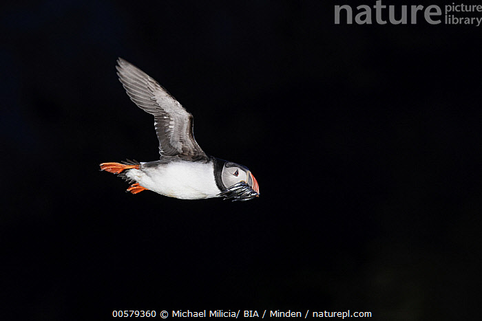 Atlantic Puffin (Fratercula arctica) flying with fish prey, Grimsey Island, Iceland  ,  Adult, Atlantic Puffin, Color Image, Day, Fish, Flying, Fratercula arctica, Full Length, Grimsey Island, Horizontal, Iceland, Nobody, One Animal, Outdoors, Photography, Predator, Prey, Seabird, Side View, Wildlife,Atlantic Puffin,Iceland  ,  Michael Milicia/ BIA