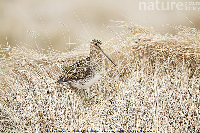 Common Snipe (Gallinago gallinago), Grimsey Island, Iceland, Adult, Camouflage, Color Image, Common Snipe, Day, Full Length, Gallinago gallinago, Grimsey Island, Horizontal, Iceland, Nobody, One Animal, Outdoors, Photography, Shorebird, Side View, Wildlife,Common Snipe,Iceland, Michael Milicia/ BIA