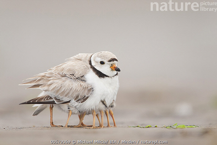 Piping Plover (Charadrius melodus) parent sheltering chicks, Massachusetts  ,  Adult, Baby, Charadrius melodus, Chick, Color Image, Day, Four Animals, Full Length, Funny, Hiding, Horizontal, Humor, Massachusetts, Nobody, Outdoors, Parent, Parenting, Photography, Piping Plover, Protecting, Sheltering, Shorebird, Side View, Wildlife,Piping Plover,Massachusetts, USA  ,  Michael Milicia/ BIA