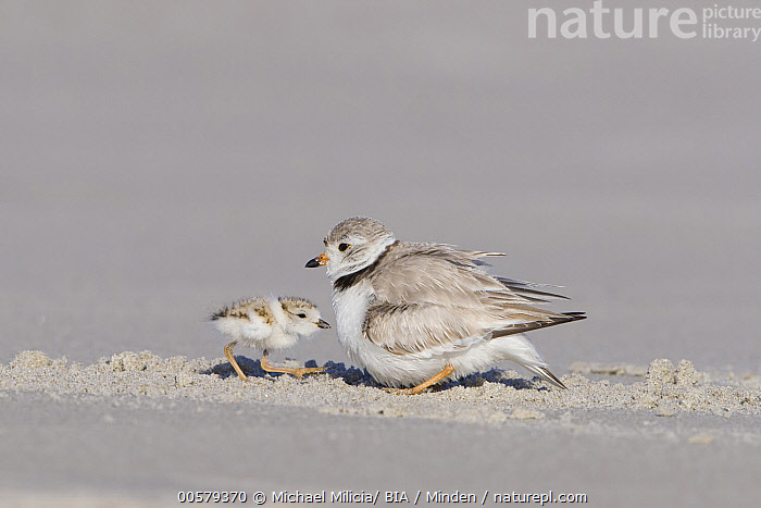 Piping Plover (Charadrius melodus) parent with chick, Massachusetts  ,  Adult, Baby, Charadrius melodus, Chick, Color Image, Day, Full Length, Horizontal, Massachusetts, Nobody, Outdoors, Parent, Photography, Piping Plover, Shorebird, Side View, Two Animals, Wildlife,Piping Plover,Massachusetts, USA  ,  Michael Milicia/ BIA
