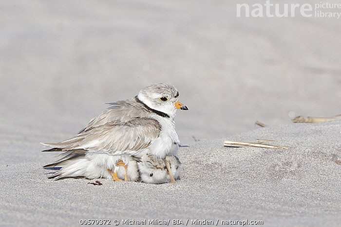 Piping Plover (Charadrius melodus) parent sheltering chicks, Massachusetts  ,  Adult, Baby, Charadrius melodus, Chick, Color Image, Day, Full Length, Hiding, Horizontal, Massachusetts, Nobody, Outdoors, Parent, Parenting, Photography, Piping Plover, Protecting, Rear View, Sheltering, Shorebird, Side View, Three Animals, Wildlife,Piping Plover,Massachusetts, USA  ,  Michael Milicia/ BIA
