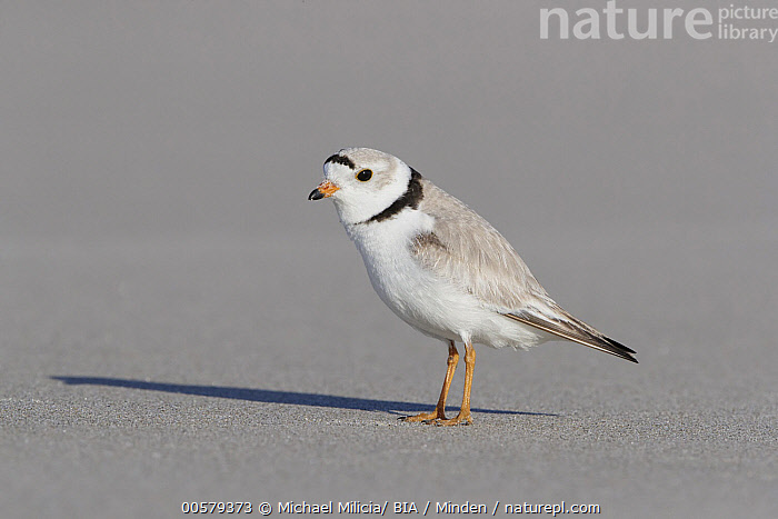 Piping Plover (Charadrius melodus), Massachusetts  ,  Adult, Charadrius melodus, Color Image, Day, Full Length, Horizontal, Massachusetts, Nobody, One Animal, Outdoors, Photography, Piping Plover, Shorebird, Side View, Wildlife,Piping Plover,Massachusetts, USA  ,  Michael Milicia/ BIA