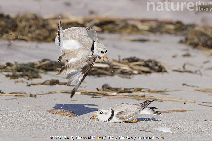 Piping Plover (Charadrius melodus) pair fighting on beach, Massachusetts, Adult, Beach, Charadrius melodus, Color Image, Competition, Day, Fighting, Flying, Full Length, Horizontal, Massachusetts, Nobody, Outdoors, Photography, Piping Plover, Shorebird, Side View, Two Animals, Wildlife,Piping Plover,Massachusetts, USA, Michael Milicia/ BIA