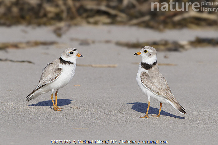 Piping Plover (Charadrius melodus) pair facing off, Massachusetts  ,  Adult, Charadrius melodus, Color Image, Competition, Day, Displaying, Facing, Full Length, Horizontal, Massachusetts, Nobody, Outdoors, Photography, Piping Plover, Shorebird, Side View, Two Animals, Wildlife,Piping Plover,Massachusetts, USA  ,  Michael Milicia/ BIA