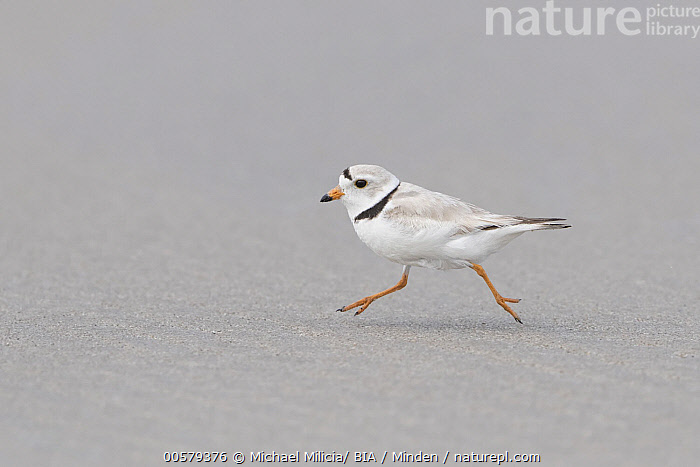 Piping Plover (Charadrius melodus) running on beach, Massachusetts  ,  Adult, Beach, Charadrius melodus, Color Image, Day, Full Length, Horizontal, Massachusetts, Nobody, One Animal, Outdoors, Photography, Piping Plover, Running, Shorebird, Side View, Wildlife,Piping Plover,Massachusetts, USA  ,  Michael Milicia/ BIA