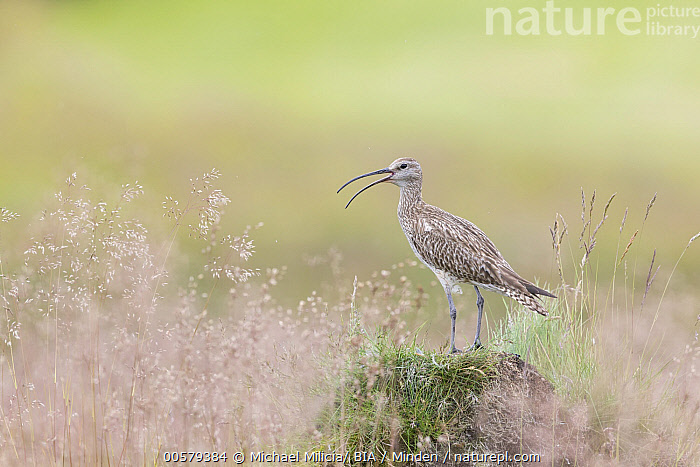 Whimbrel (Numenius phaeopus) calling, Dalvik, Iceland  ,  Adult, Calling, Color Image, Dalvik, Day, Full Length, Horizontal, Iceland, Nobody, Numenius phaeopus, One Animal, Open Mouth, Outdoors, Photography, Shorebird, Side View, Whimbrel, Wildlife,Whimbrel,Iceland  ,  Michael Milicia/ BIA