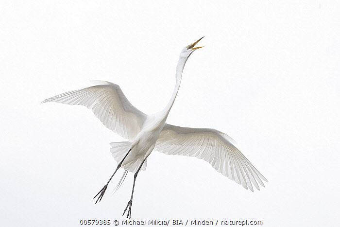 Great Egret (Ardea alba) calling while flying, Florida  ,  Adult, Ardea alba, Calling, Color Image, Day, Florida, Flying, Front View, Full Length, Great Egret, Horizontal, Nobody, One Animal, Open Mouth, Outdoors, Photography, Underside, Wading Bird, Wildlife,Great Egret,Florida, USA  ,  Michael Milicia/ BIA