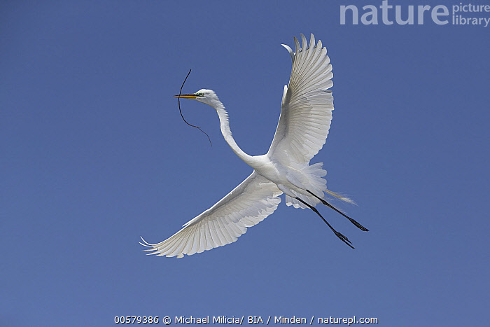 Great Egret (Ardea alba) flying with nesting material, Florida, Adult, Ardea alba, Carrying, Color Image, Day, Florida, Flying, Full Length, Great Egret, Horizontal, Low Angle View, Nesting, Nobody, One Animal, Outdoors, Photography, Side View, Underside, Wading Bird, Wildlife,Great Egret,Florida, USA, Michael Milicia/ BIA