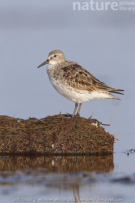 White-rumped Sandpiper (Calidris fuscicollis), Massachusetts, Adult, Calidris fuscicollis, Color Image, Day, Full Length, Massachusetts, Nobody, One Animal, Outdoors, Photography, Shorebird, Side View, Vertical, White-rumped Sandpiper, Wildlife,White-rumped Sandpiper,Massachusetts, USA, Michael Milicia/ BIA