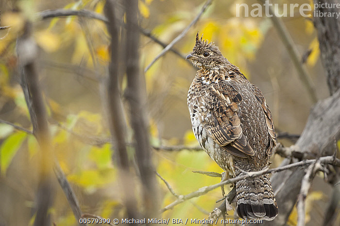 Ruffed Grouse (Bonasa umbellus), Alberta, Canada  ,  Adult, Alberta, Bonasa umbellus, Canada, Color Image, Day, Full Length, Gamebird, Horizontal, Nobody, One Animal, Outdoors, Photography, Rear View, Ruffed Grouse, Side View, Wildlife,Ruffed Grouse,Canada  ,  Michael Milicia/ BIA